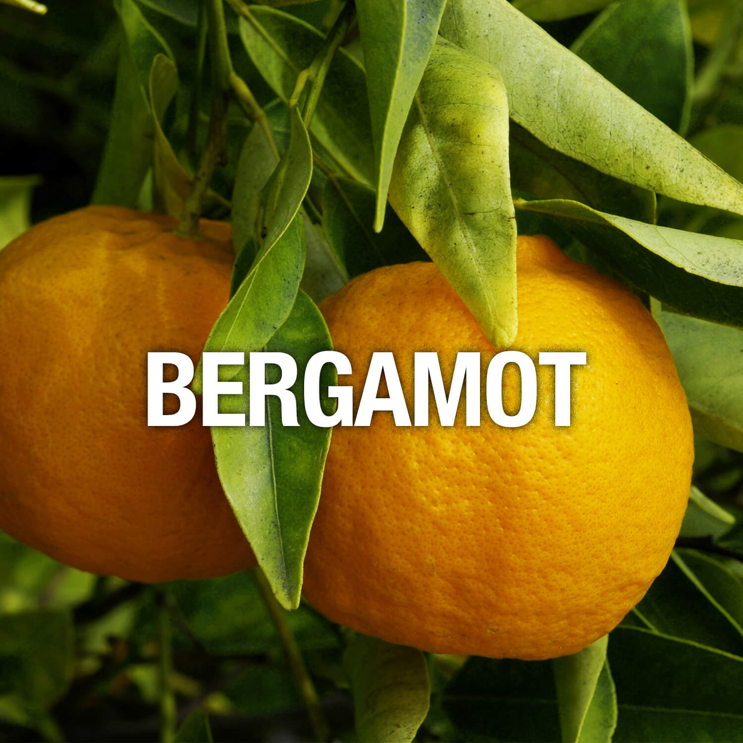 Curve Fragrance Notes Bergamot