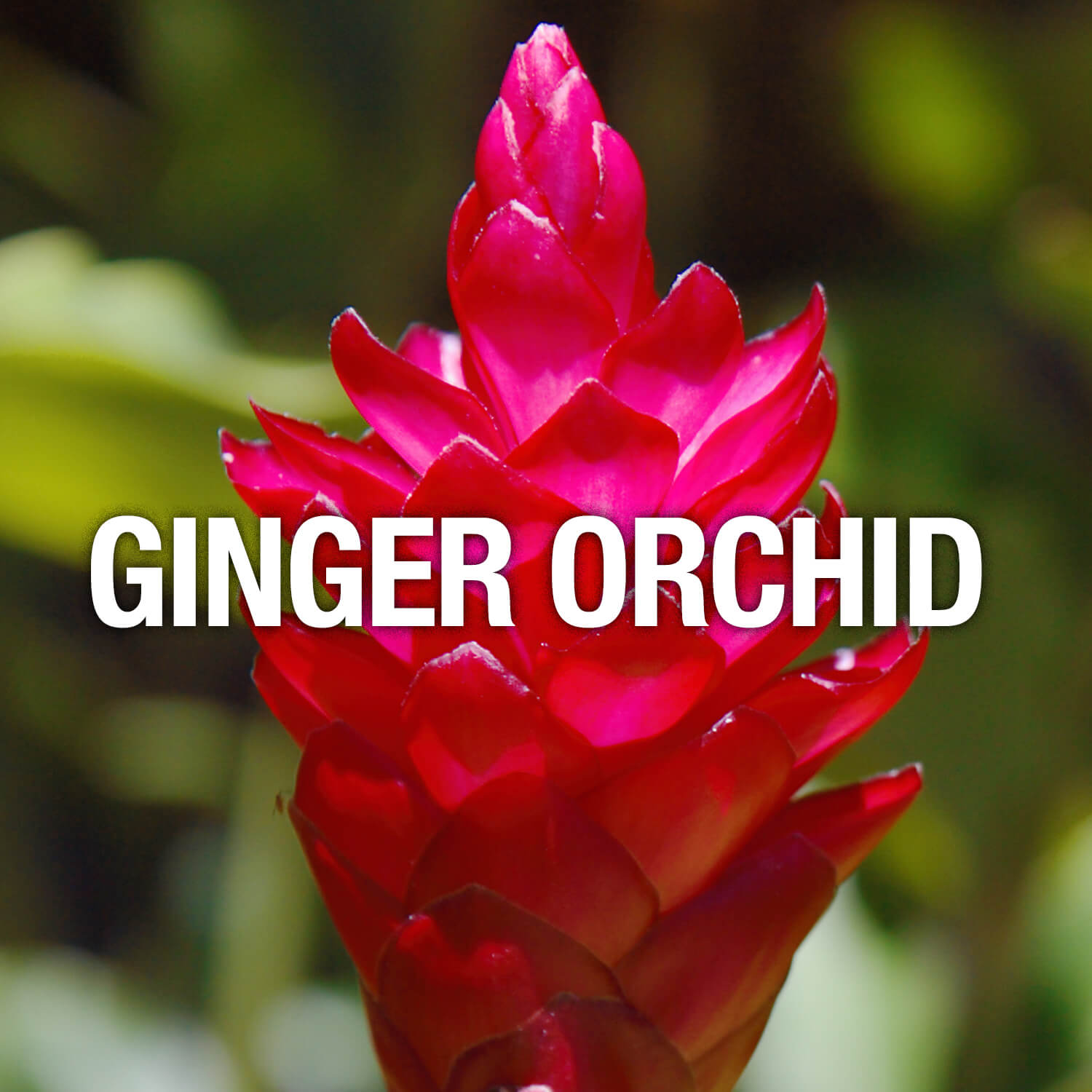Curve Fragrance Notes Ginger Orchid