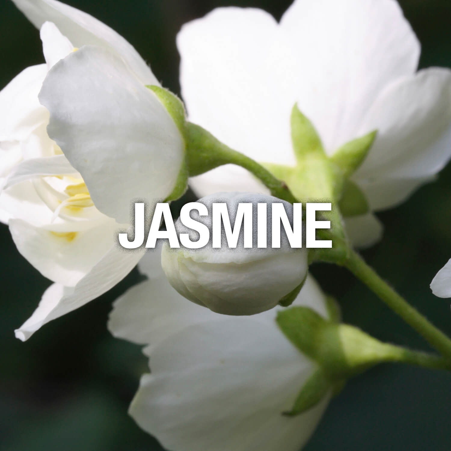 Curve Fragrance Notes Jasmine