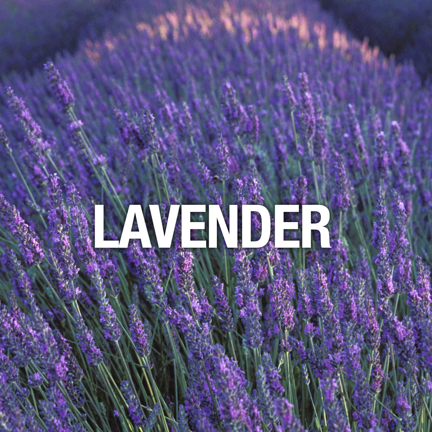 Curve Fragrance Notes Lavender