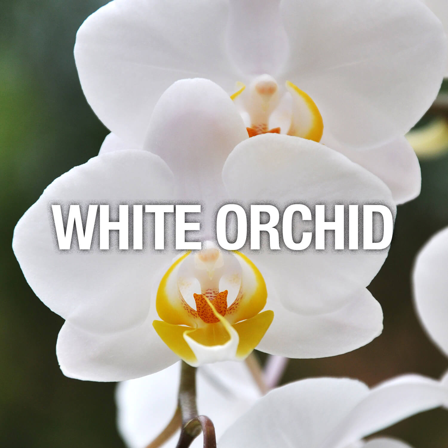 Curve Fragrance Notes White Orchid